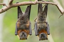Grey-headed Flying-fox Bat Ramble