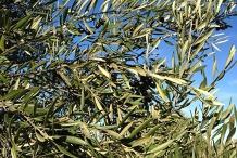 Linda Costa Table Olive Workshop