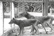 Mid-Afternoon Masterclass: Cloning the Thylacine