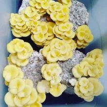 Launceston - Mushroom 2 Mushroom - M2M, March 29th, 10am