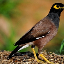 Indian Myna Trap Bookings