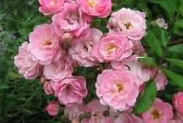 Alister Clark Memorial Rose Garden Monthly Working Bees