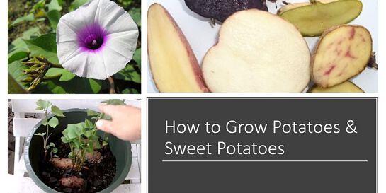 HOW TO GROW POTATOES & SWEET POTATOES - Growing Vegetable Series