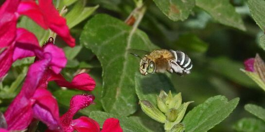Attracting Native Bees and Butterflies