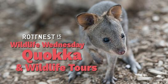 Quokka Birthday: Wildlife Wednesday Quokka & Wildlife Tours