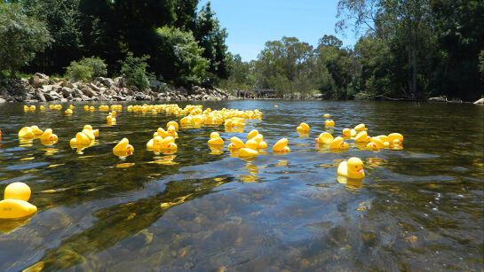 The Great Duck Regatta on the King River