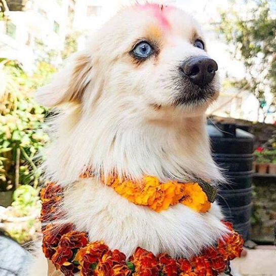 Street paws celebrating Kukur Tihar (Nepal) Festival of the dog