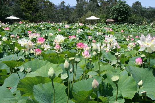 Lotus Flower Season