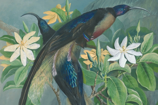 Birds of Paradise: Ellis Rowan in New Guinea